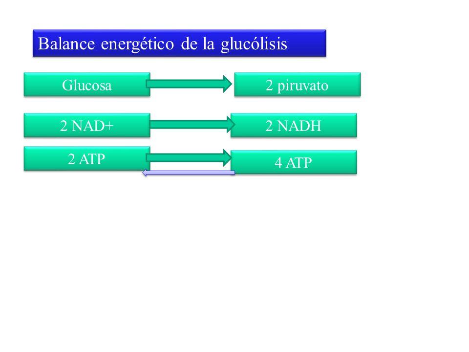 Balance energético de la glucólisis