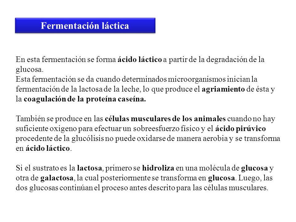Fermentación lácticaEn esta fermentación se forma ácido láctico a partir de la degradación de la glucosa.