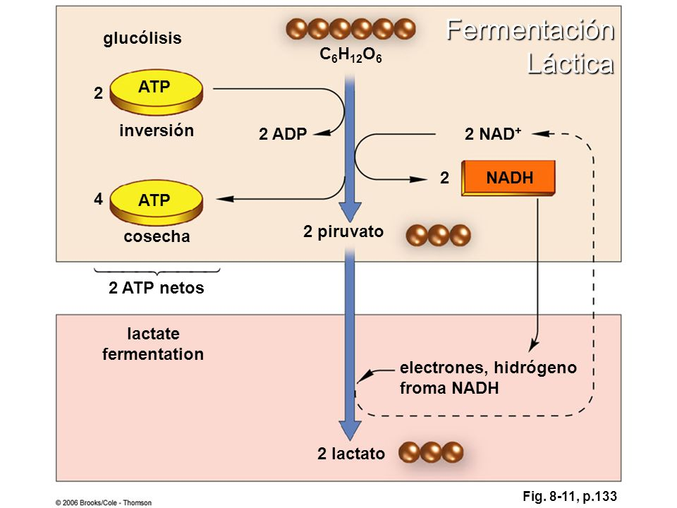 Fermentación Láctica glucólisis C6H12O6 ATP 2 inversión 2 ADP 2 NAD+ 2