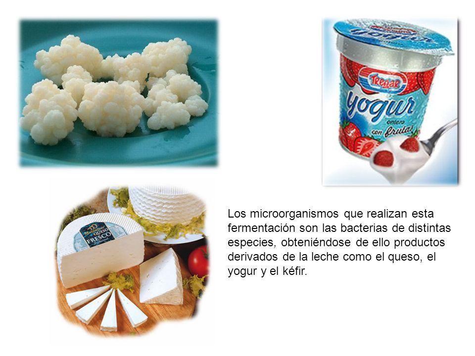 Los microorganismos que realizan esta fermentación son las bacterias de distintas especies, obteniéndose de ello productos derivados de la leche como el queso, el yogur y el kéfir.