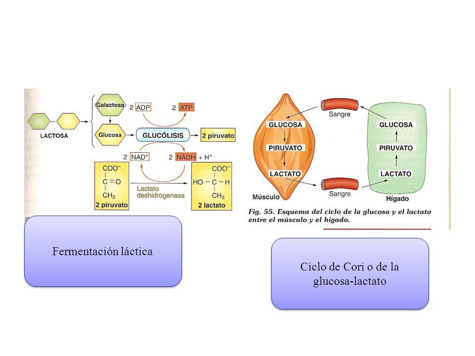 Ciclo de Cori o de la glucosa-lactato
