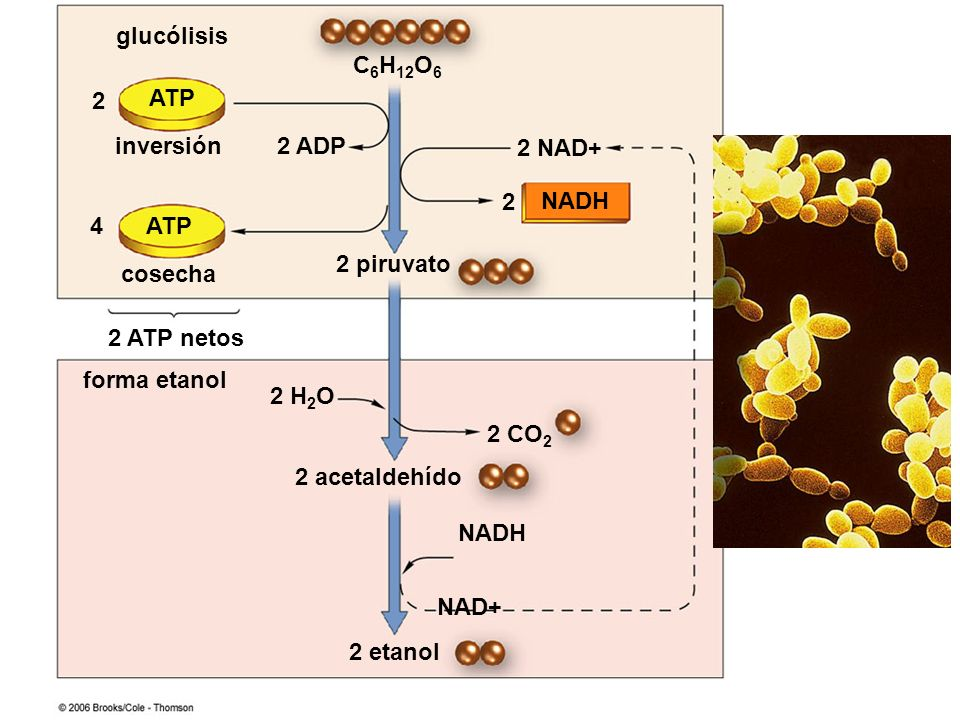 C6H12O6 ATP NADH 2 acetaldehído 2 NAD+ 2 2 ADP 2 piruvato 4 cosecha