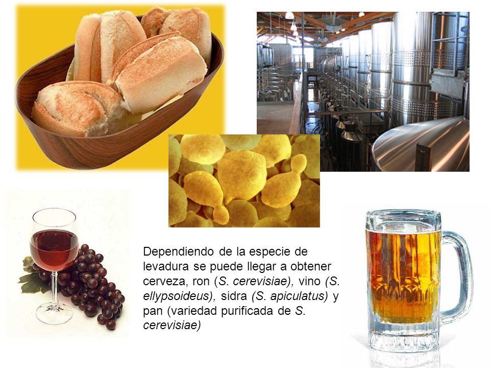 Dependiendo de la especie de levadura se puede llegar a obtener cerveza, ron (S.