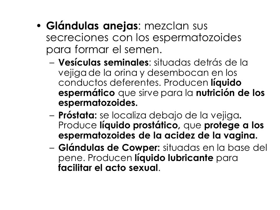 Glándulas anejas: mezclan sus secreciones con los espermatozoides para formar el semen.