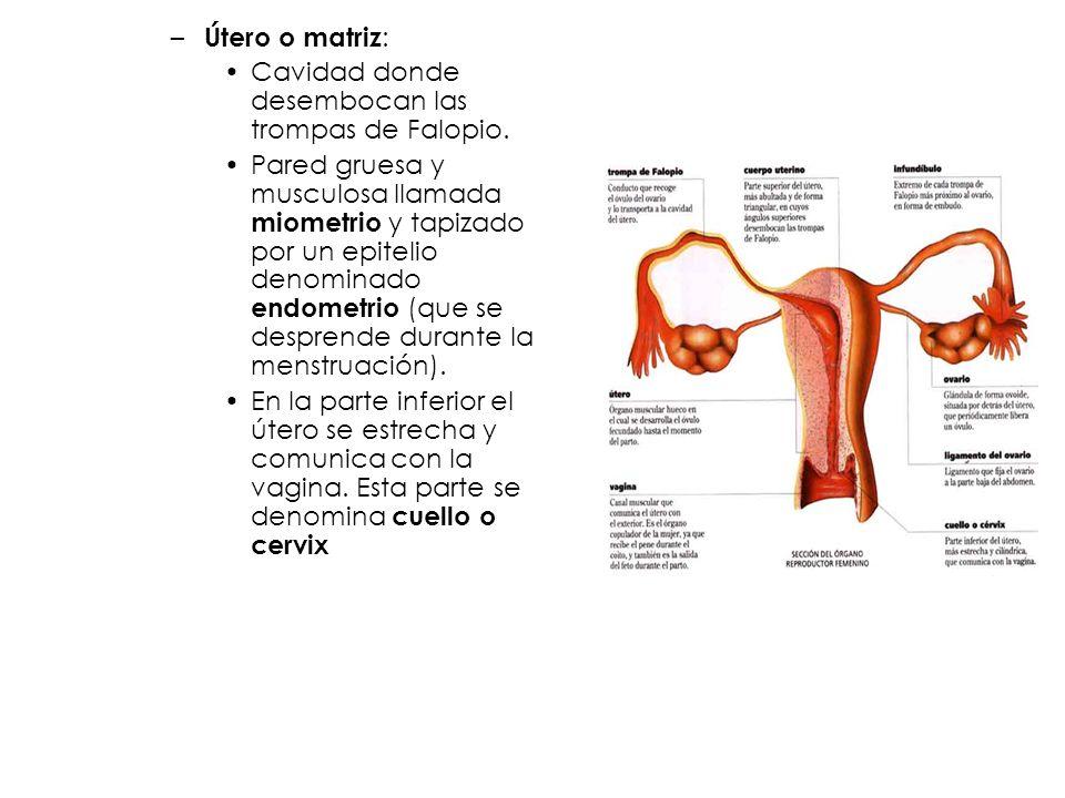 Útero o matriz: Cavidad donde desembocan las trompas de Falopio.