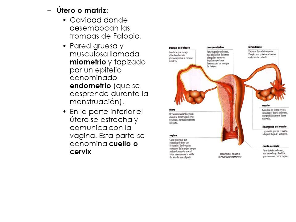 Útero o matriz:Cavidad donde desembocan las trompas de Falopio.