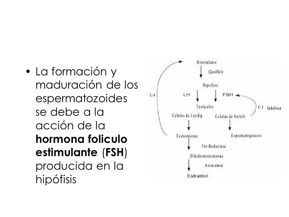 La formación y maduración de los espermatozoides se debe a la acción de la hormona foliculo estimulante (FSH) producida en la hipófisis