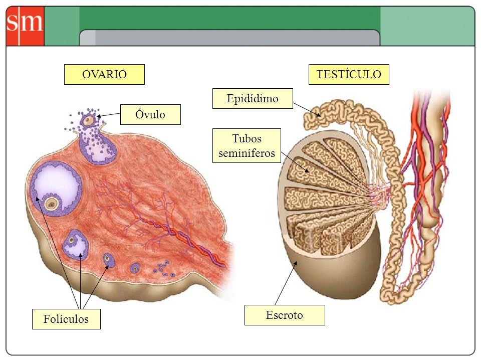 OVARIO TESTÍCULO Epidídimo Óvulo Tubos seminíferos Escroto Folículos