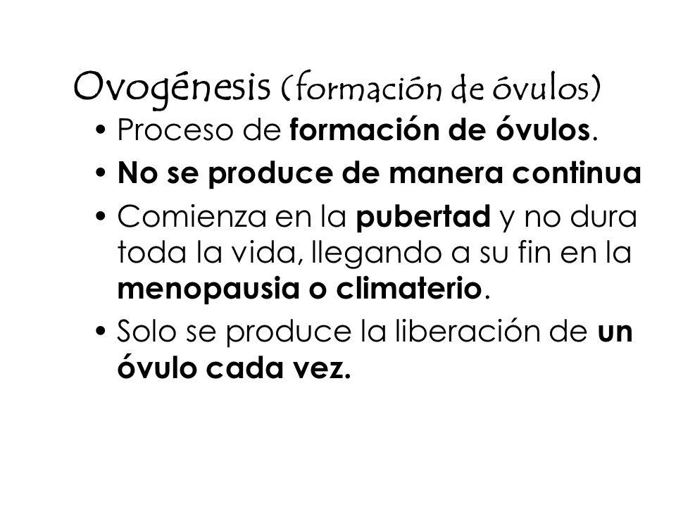 Ovogénesis (formación de óvulos)