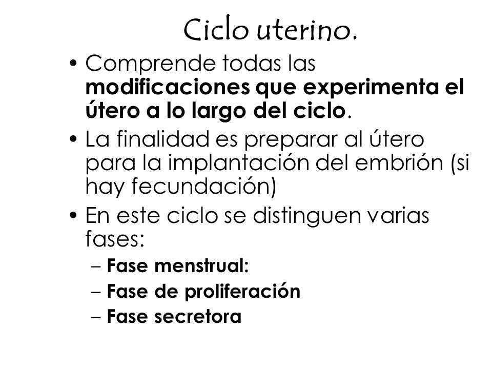 Ciclo uterino.Comprende todas las modificaciones que experimenta el útero a lo largo del ciclo.