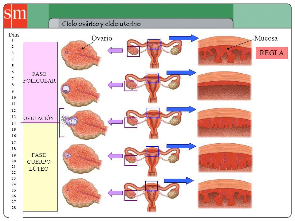 Ovario Mucosa REGLA Ciclo ovárico y ciclo uterino Días FASE FOLICULAR
