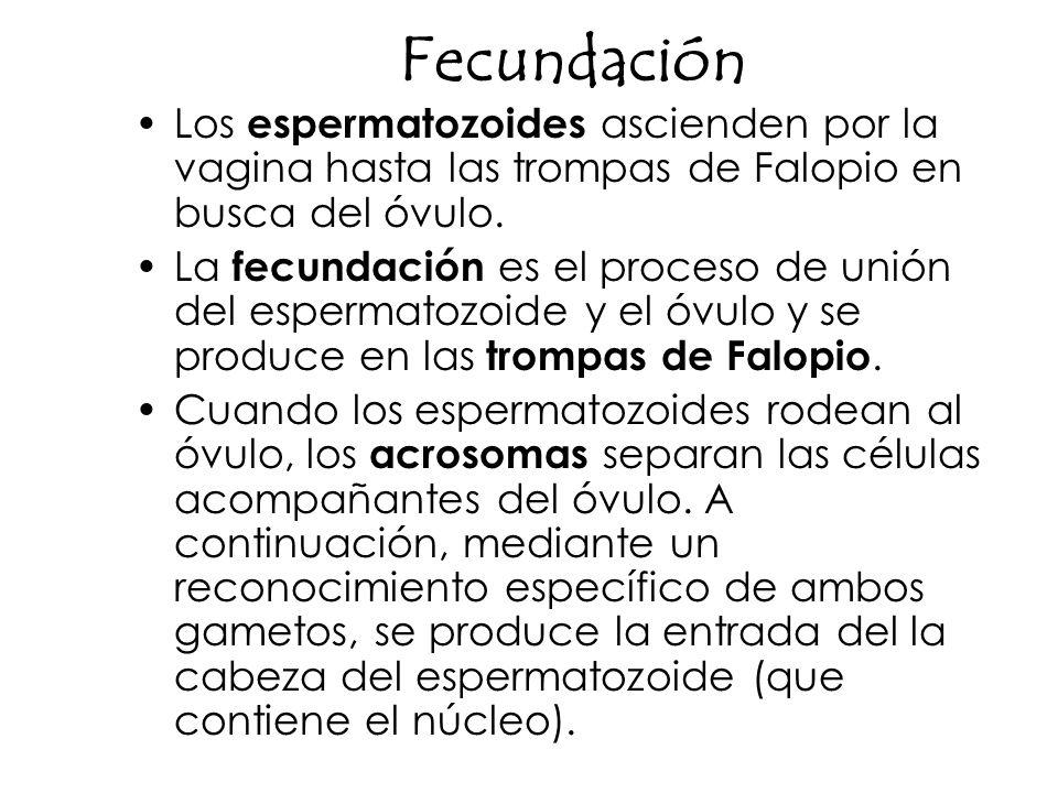 Fecundación Los espermatozoides ascienden por la vagina hasta las trompas de Falopio en busca del óvulo.