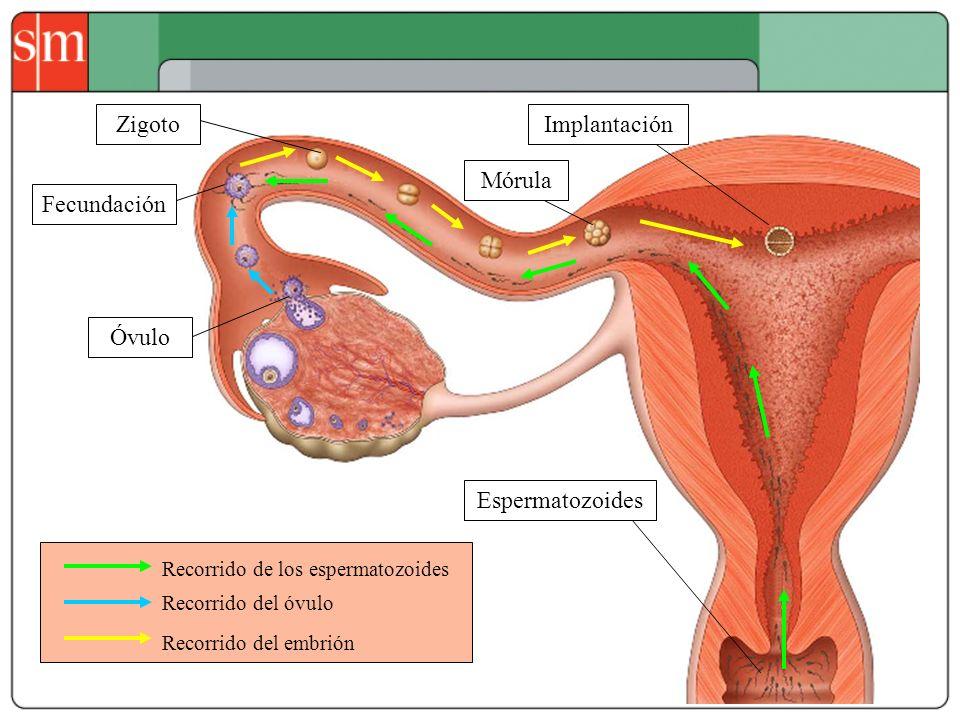 Zigoto Implantación Mórula Fecundación Óvulo Espermatozoides