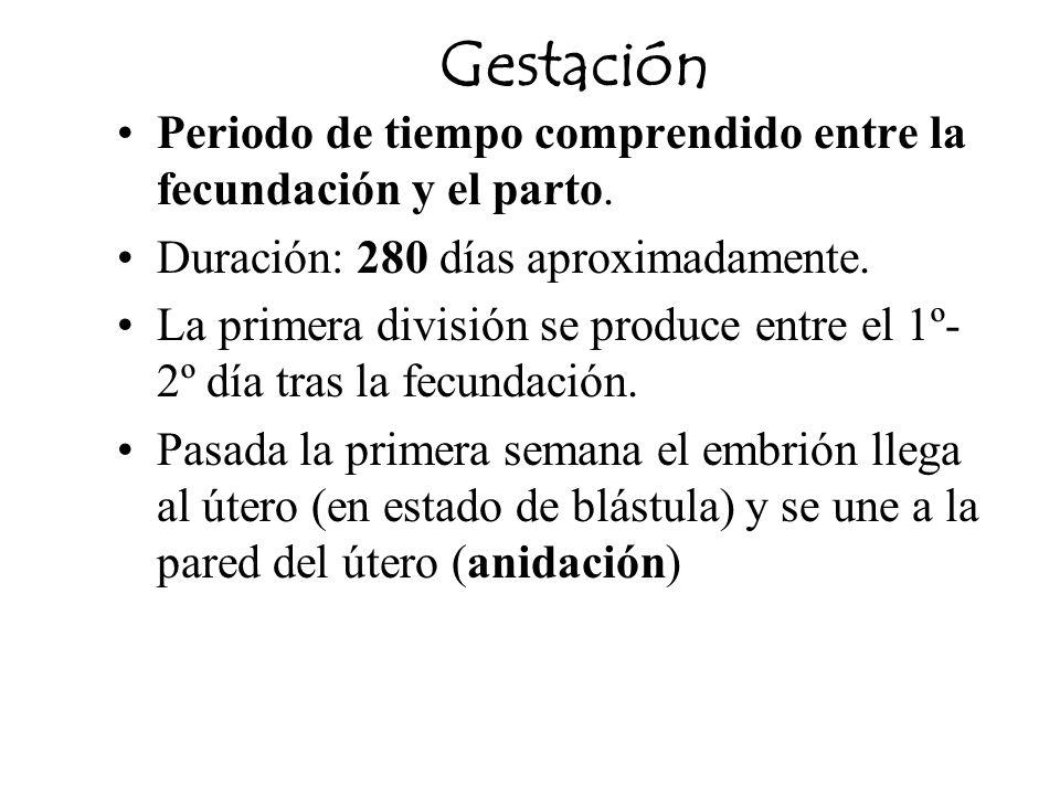 GestaciónPeriodo de tiempo comprendido entre la fecundación y el parto. Duración: 280 días aproximadamente.