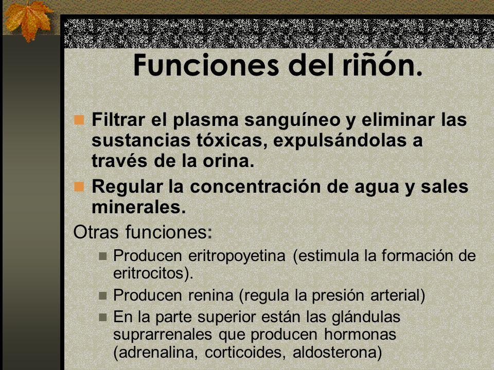 Funciones del riñón. Filtrar el plasma sanguíneo y eliminar las sustancias tóxicas, expulsándolas a través de la orina.