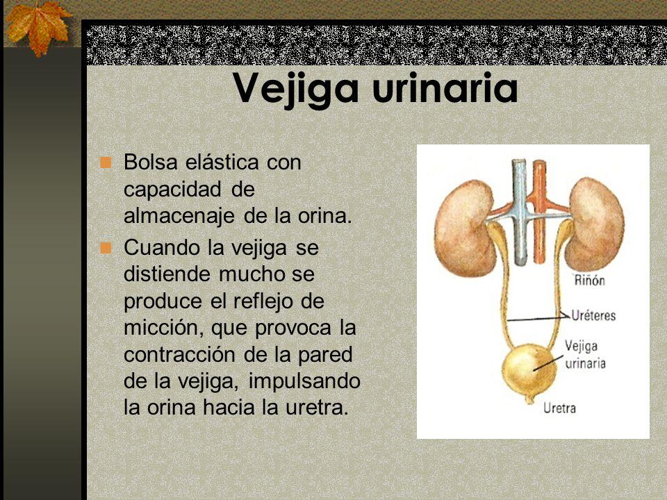 Vejiga urinaria Bolsa elástica con capacidad de almacenaje de la orina.