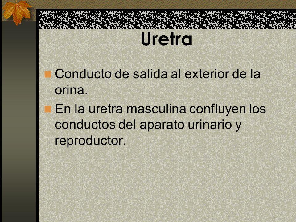 Uretra Conducto de salida al exterior de la orina.