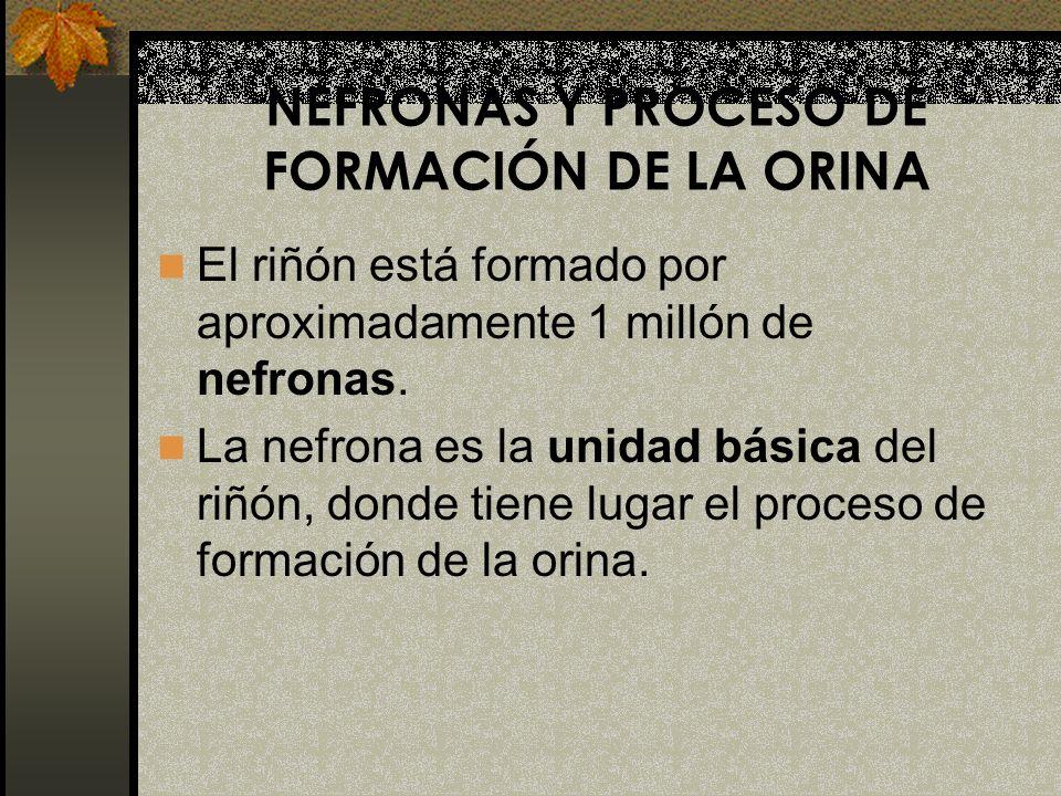NEFRONAS Y PROCESO DE FORMACIÓN DE LA ORINA