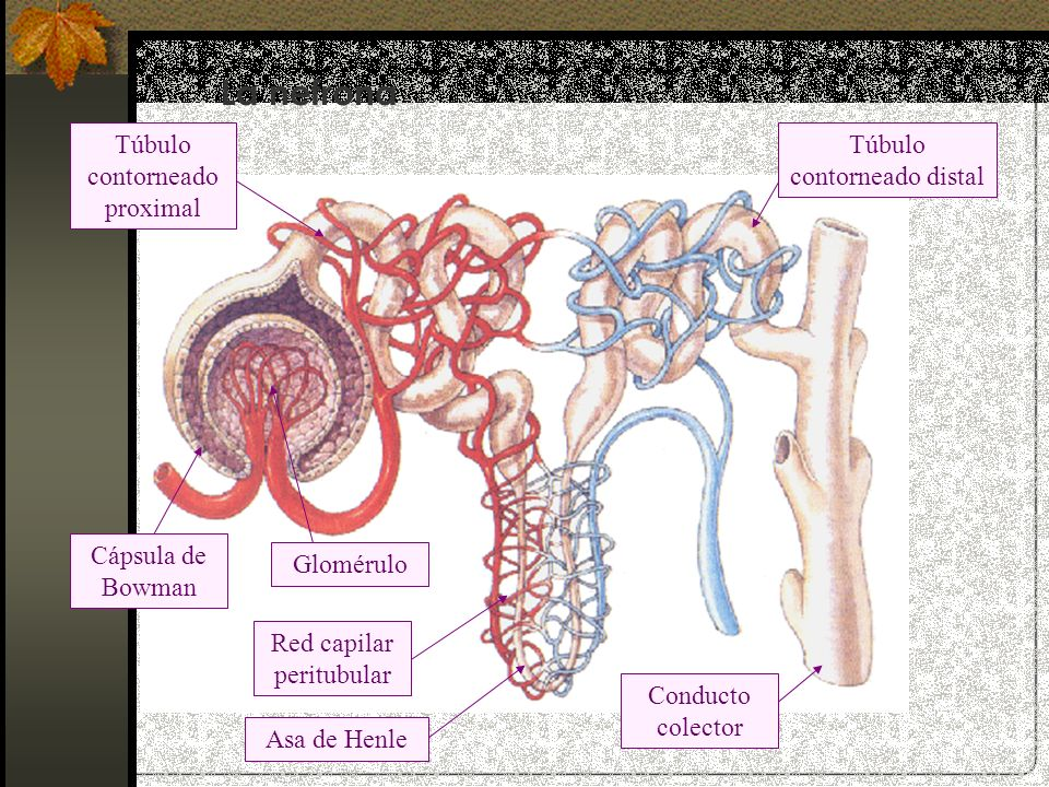 La nefrona Túbulo contorneado proximal Túbulo contorneado distal