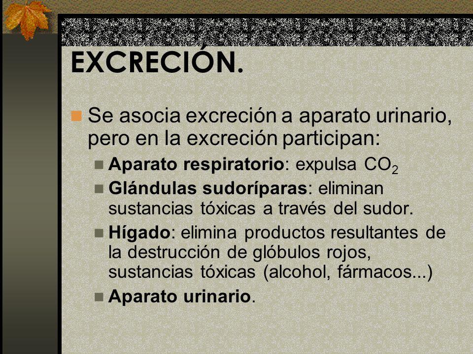 EXCRECIÓN. Se asocia excreción a aparato urinario, pero en la excreción participan: Aparato respiratorio: expulsa CO2.