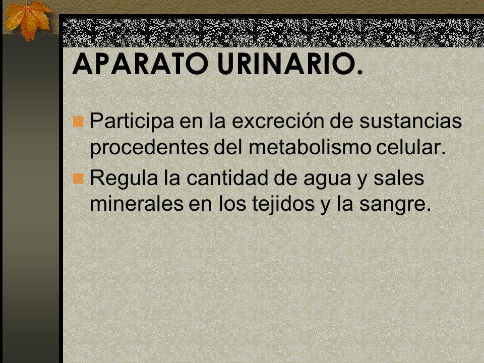APARATO URINARIO. Participa en la excreción de sustancias procedentes del metabolismo celular.