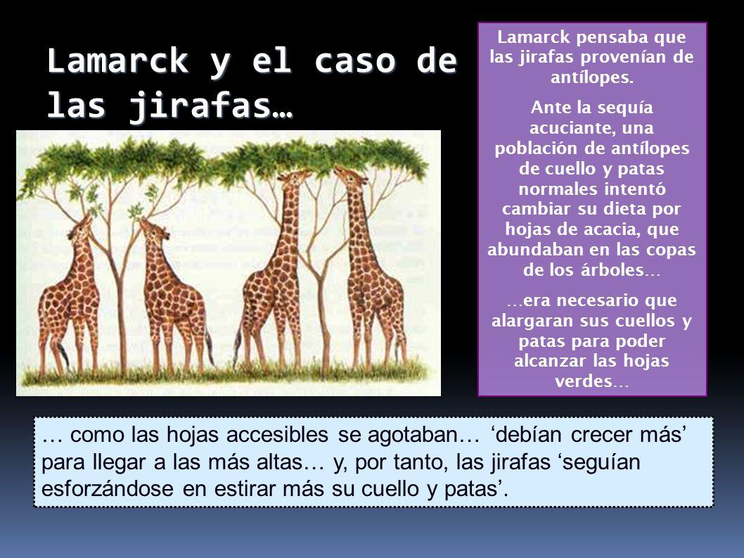 Lamarck pensaba que las jirafas provenían de antílopes.