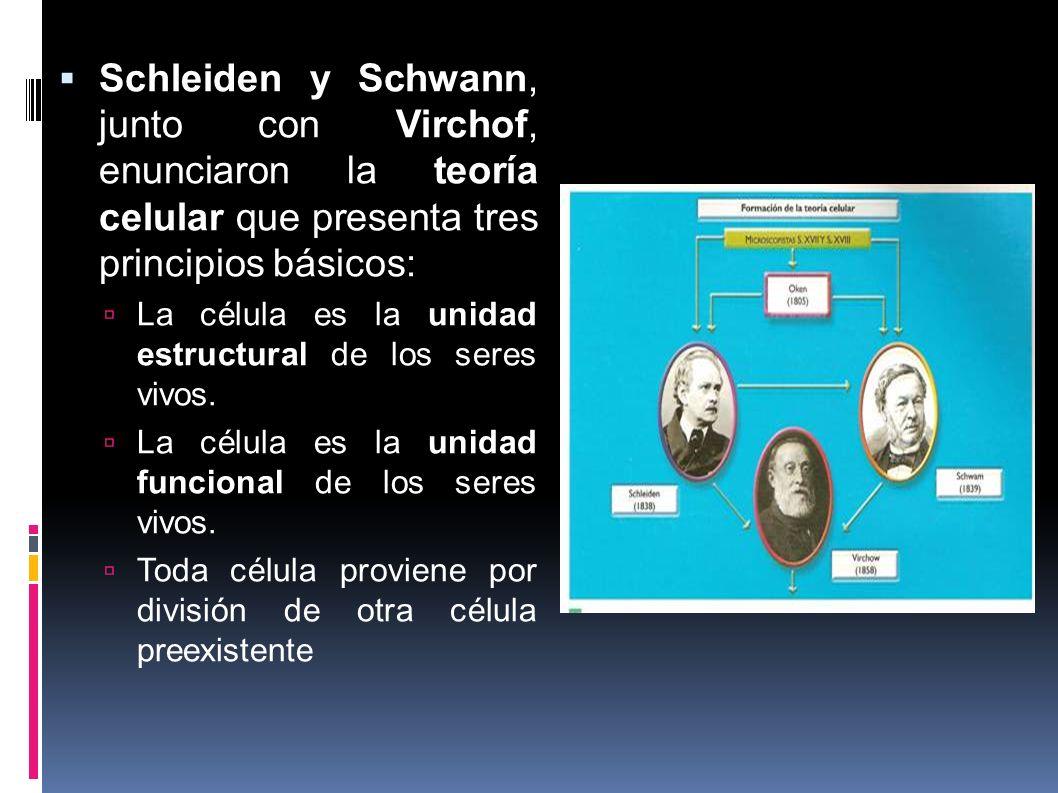 Schleiden y Schwann, junto con Virchof, enunciaron la teoría celular que presenta tres principios básicos: