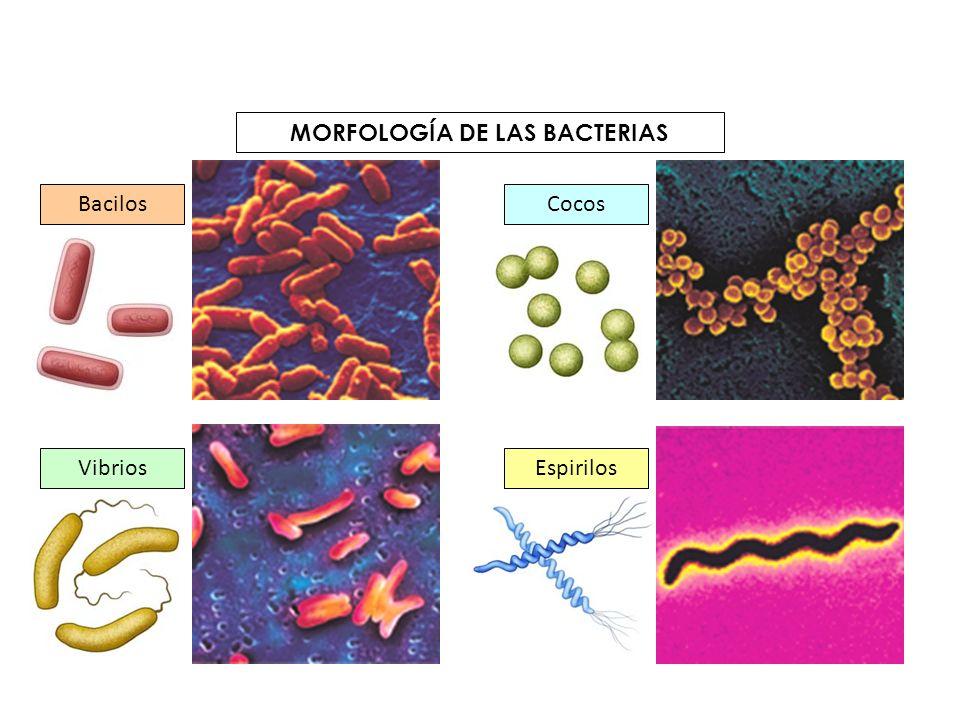 MORFOLOGÍA DE LAS BACTERIAS