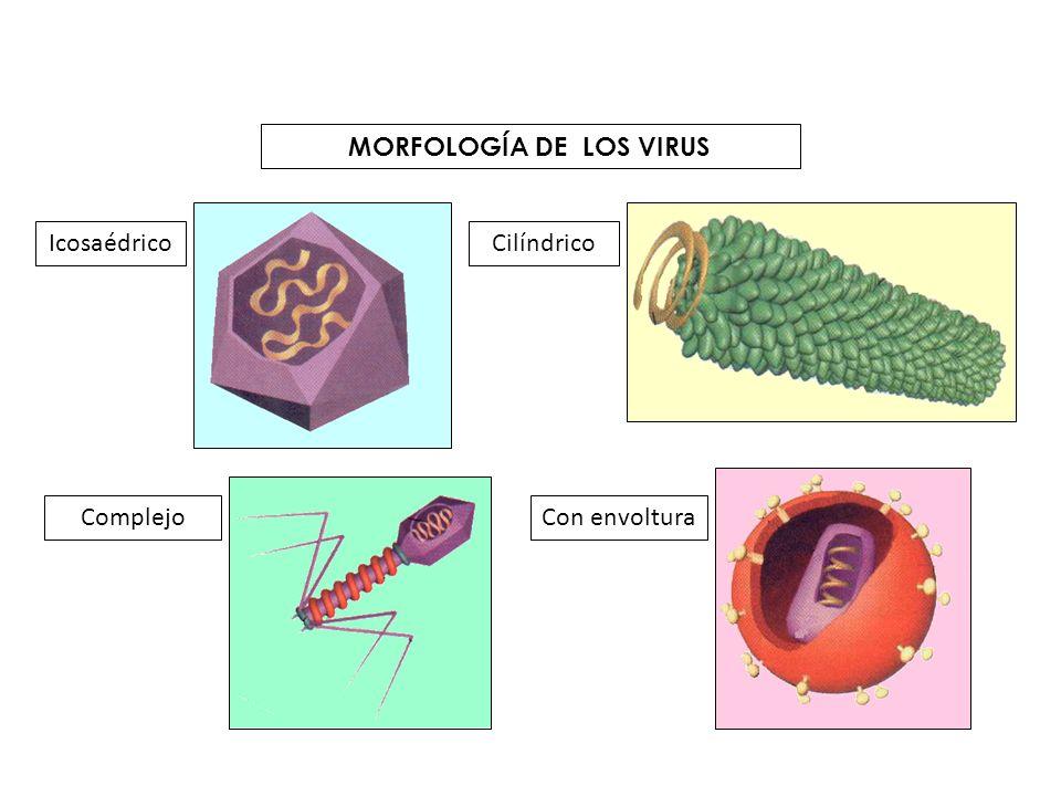 MORFOLOGÍA DE LOS VIRUS