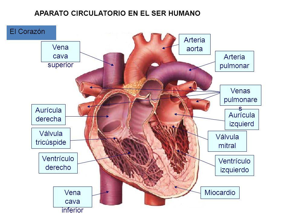 APARATO CIRCULATORIO EN EL SER HUMANO