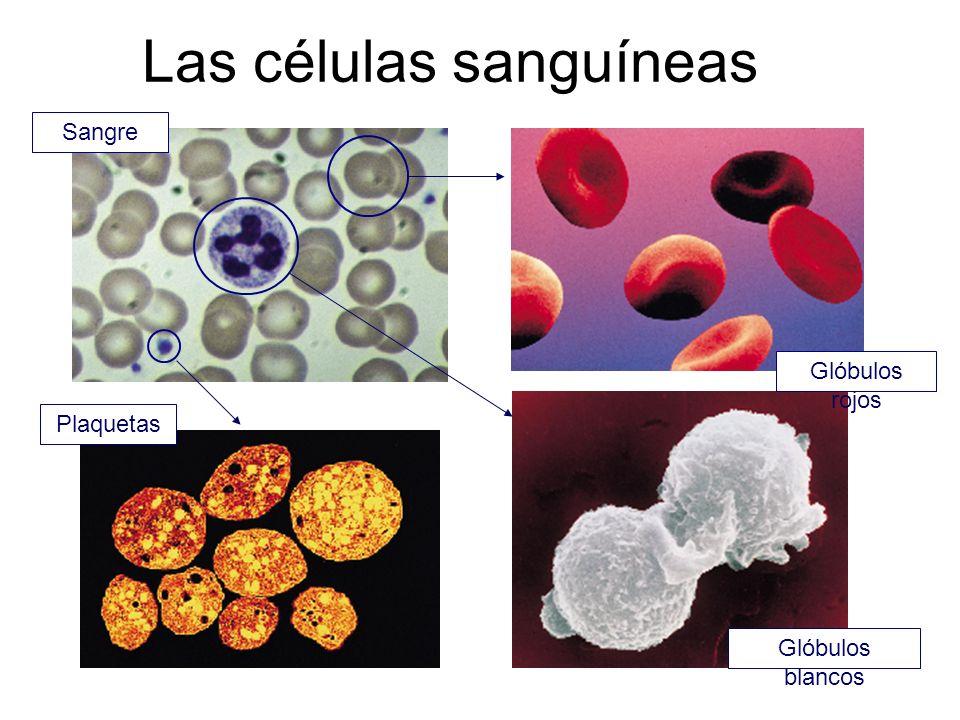 Las células sanguíneas