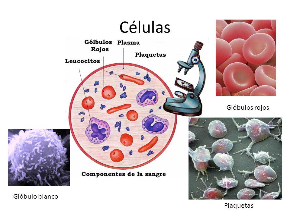Células Glóbulos rojos Glóbulo blanco Plaquetas
