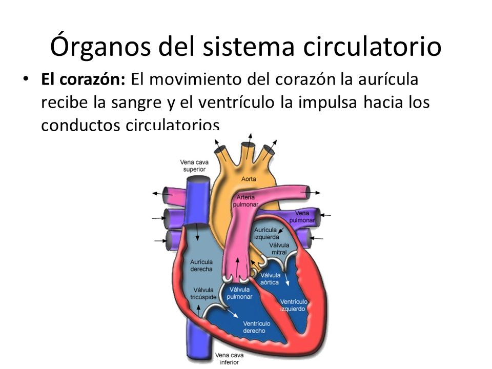 Órganos del sistema circulatorio