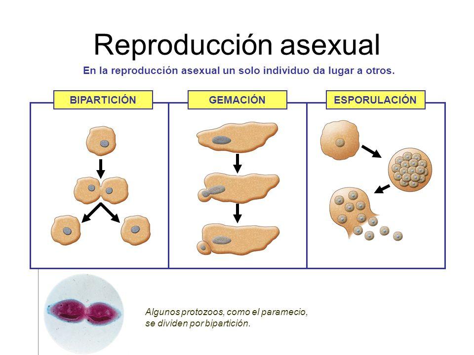 En la reproducción asexual un solo individuo da lugar a otros.