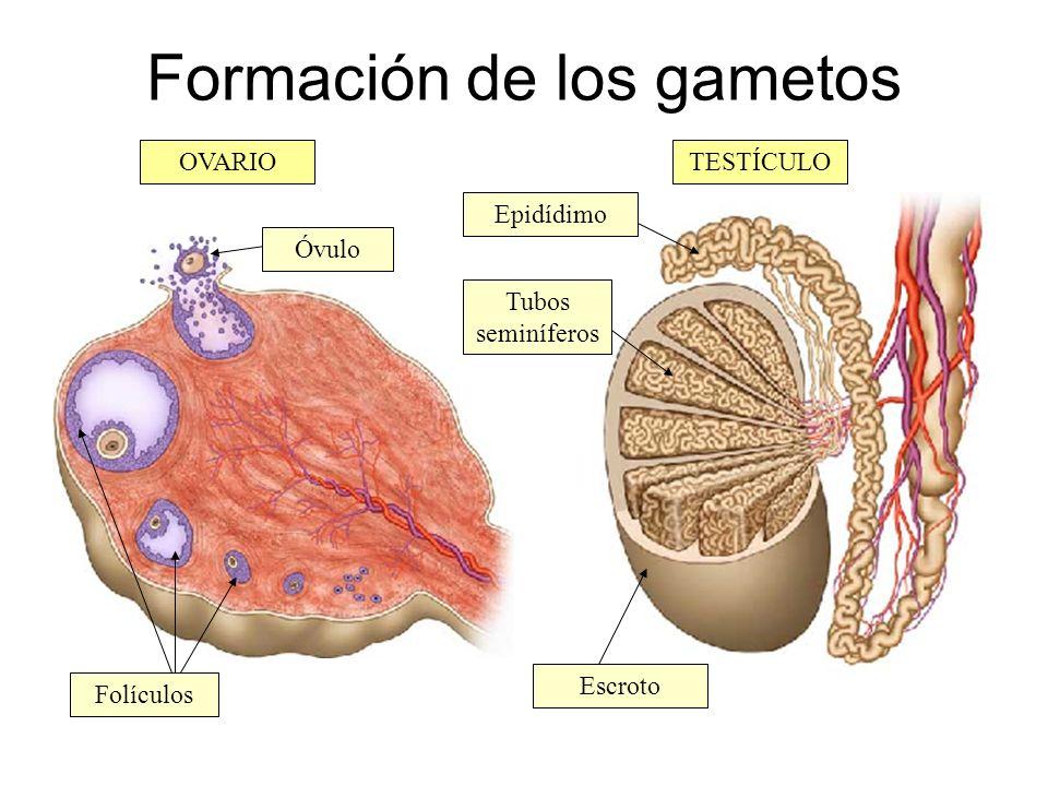 Formación de los gametos
