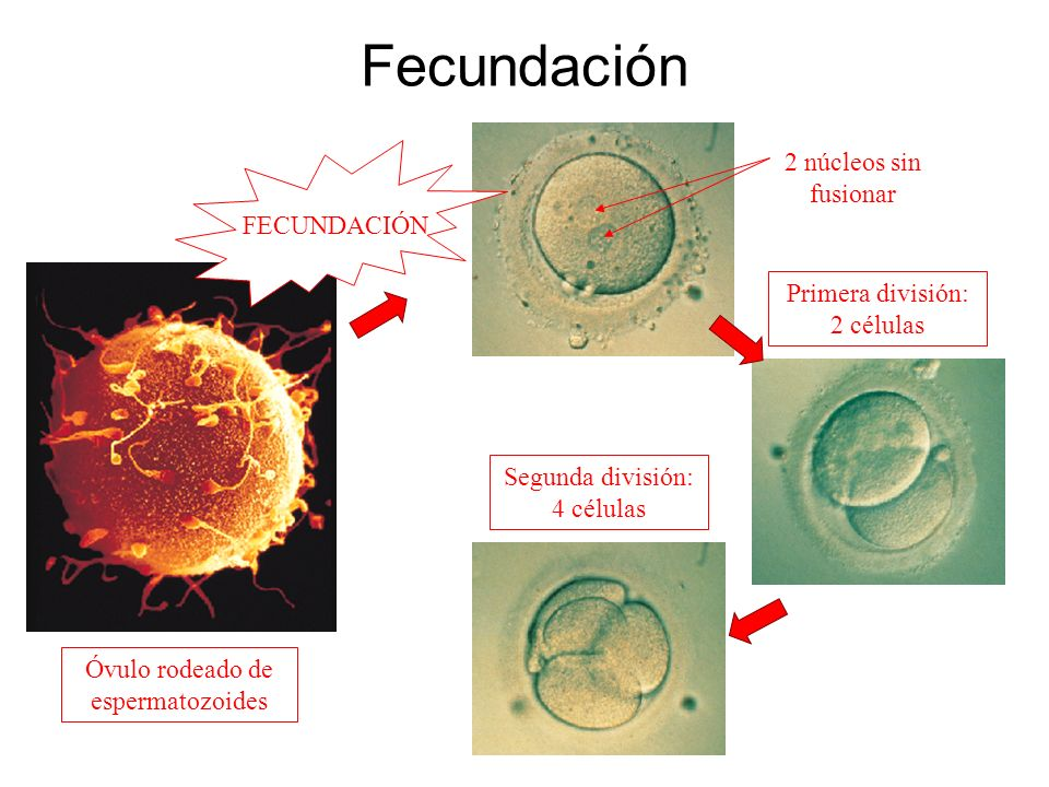 Fecundación 2 núcleos sin fusionar FECUNDACIÓN