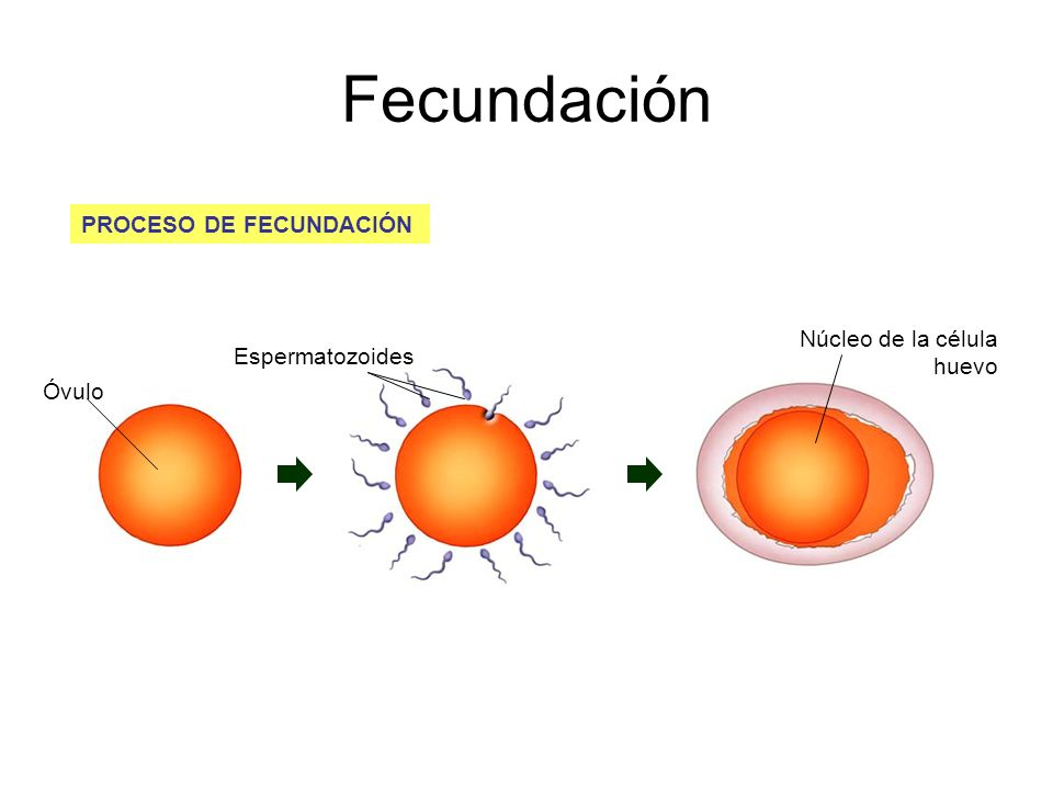 Fecundación PROCESO DE FECUNDACIÓN Núcleo de la célula huevo