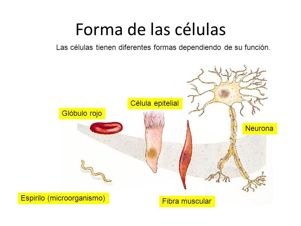 Las células tienen diferentes formas dependiendo de su función.