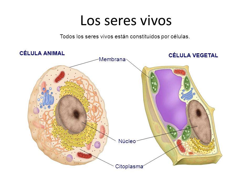 Todos los seres vivos están constituidos por células.