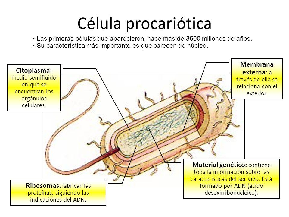 Célula procariótica Las primeras células que aparecieron, hace más de 3500 millones de años.