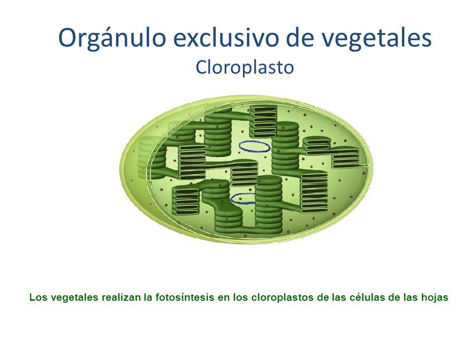 Orgánulo exclusivo de vegetales Cloroplasto