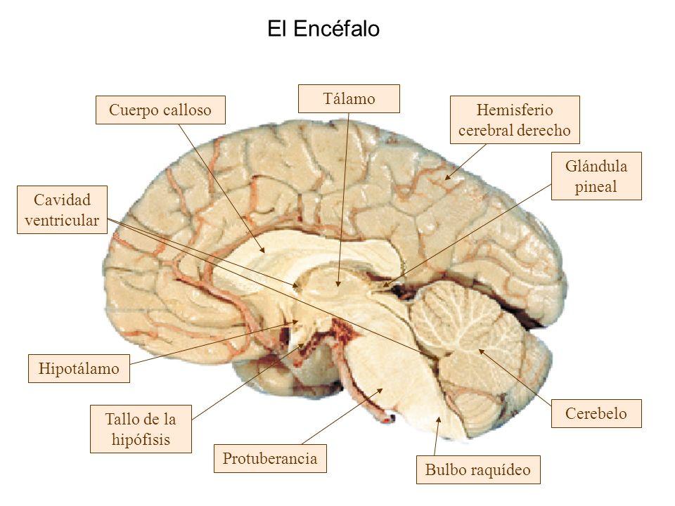 Hemisferio cerebral derecho