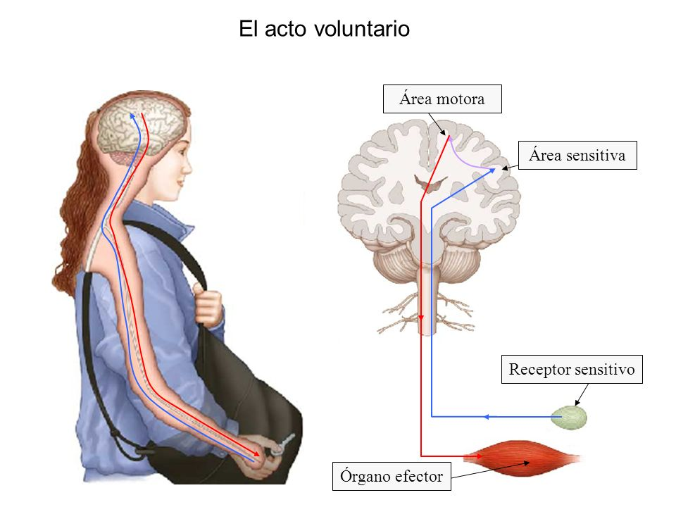El acto voluntario Área motora Área sensitiva Receptor sensitivo
