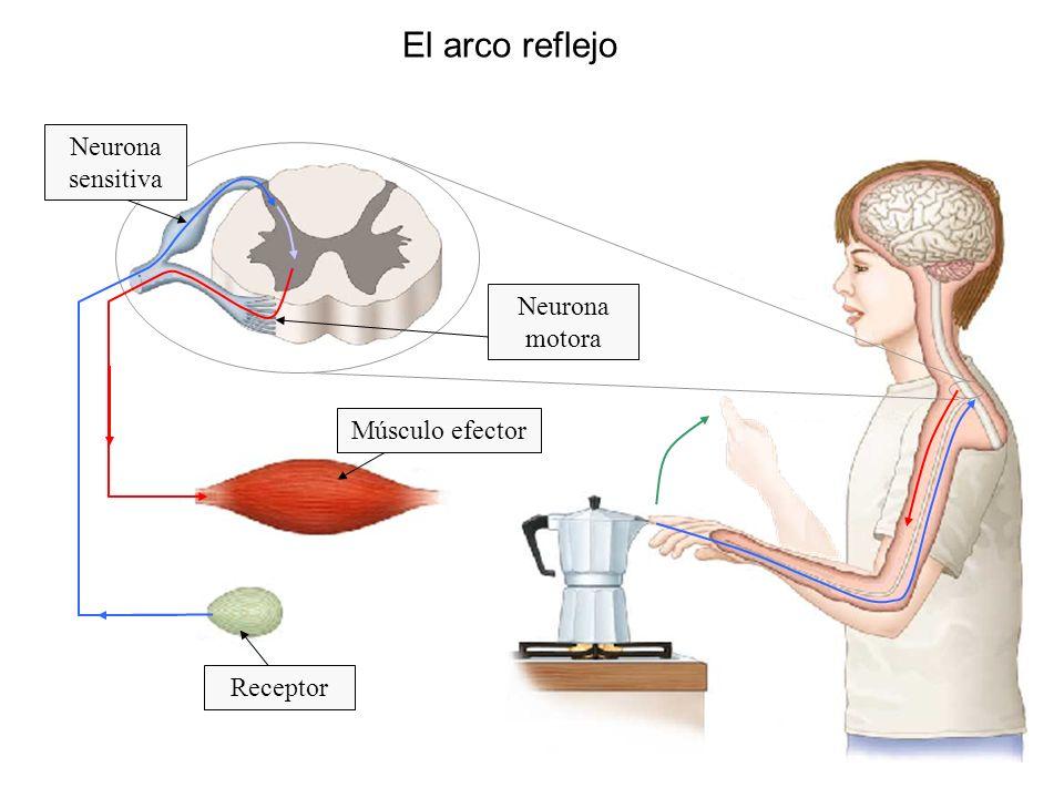 El arco reflejo Neurona sensitiva Neurona motora Músculo efector