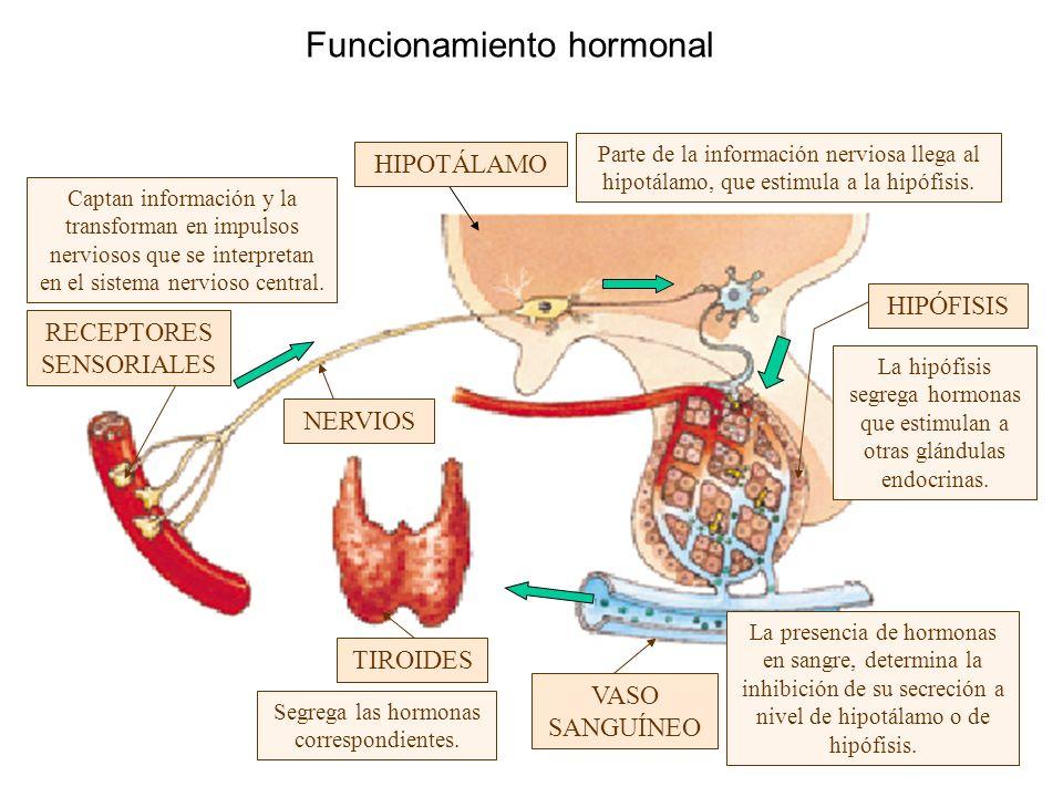 Funcionamiento hormonal