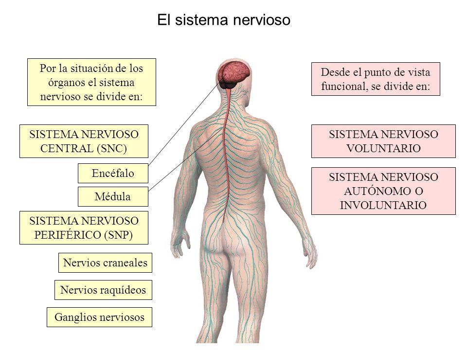 El sistema nervioso Por la situación de los órganos el sistema nervioso se divide en: Desde el punto de vista funcional, se divide en: