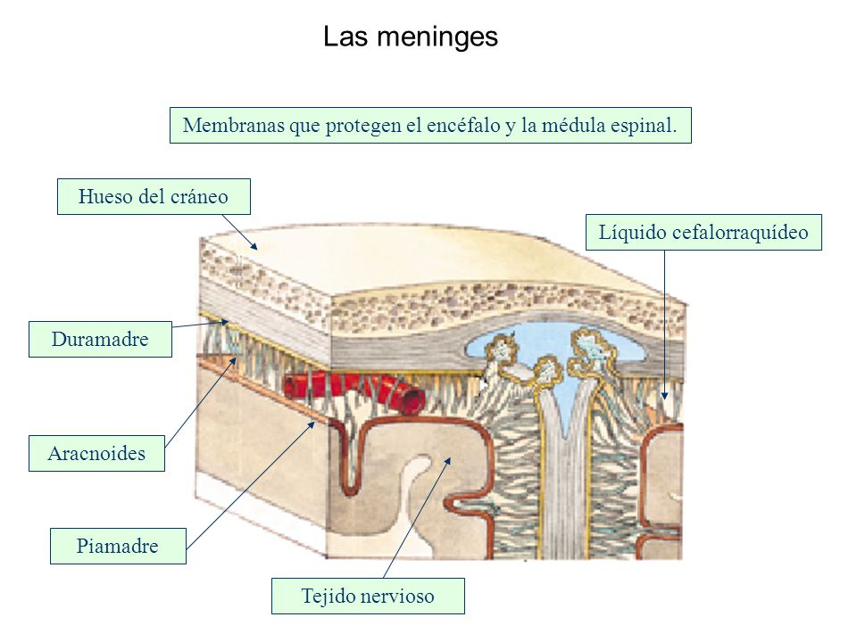 Las meninges Membranas que protegen el encéfalo y la médula espinal.