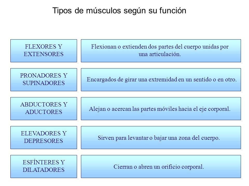 Tipos de músculos según su función
