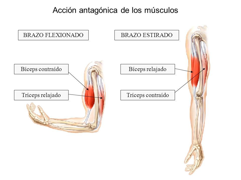Acción antagónica de los músculos