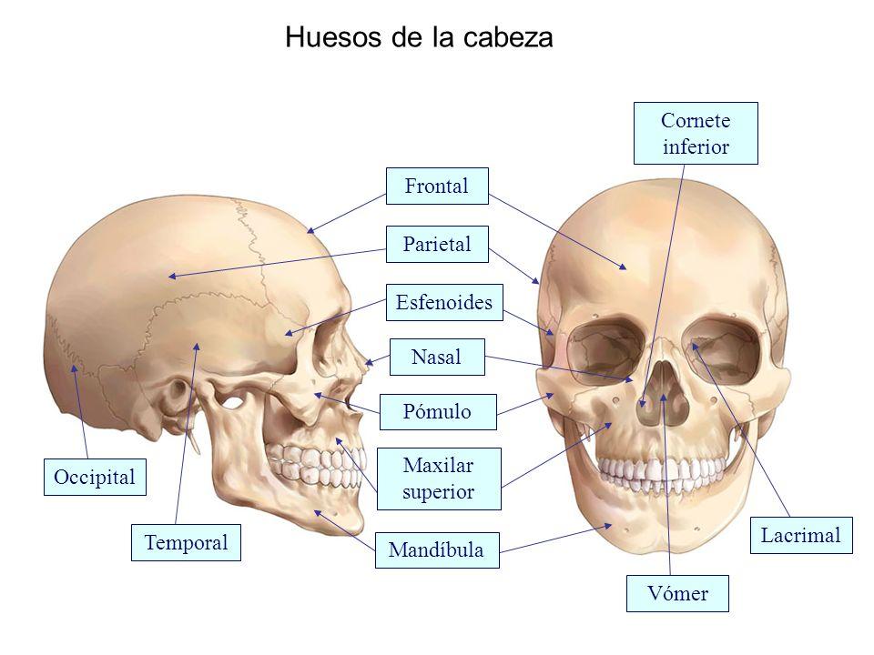 Huesos de la cabeza Cornete inferior Frontal Parietal Esfenoides Nasal